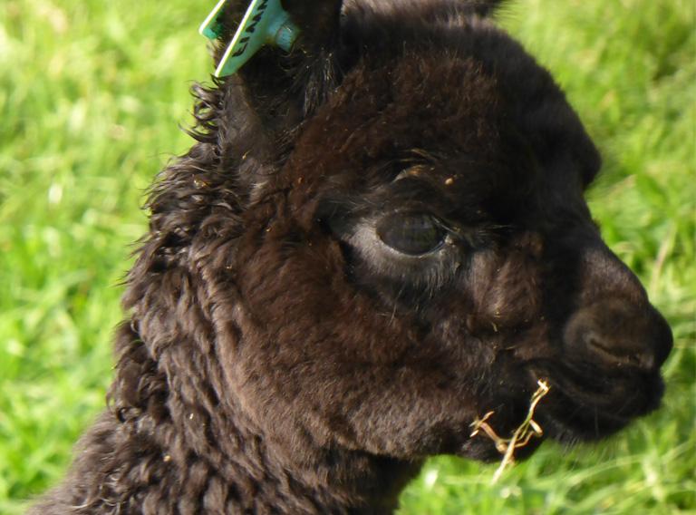 Wyvern Baby Alpaca