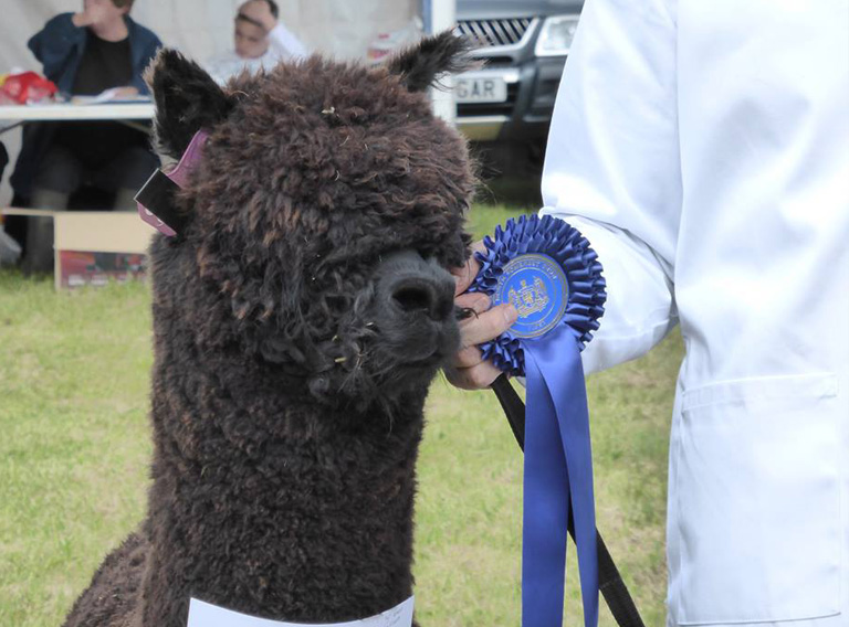 Wyvern Award Winning Alpaca