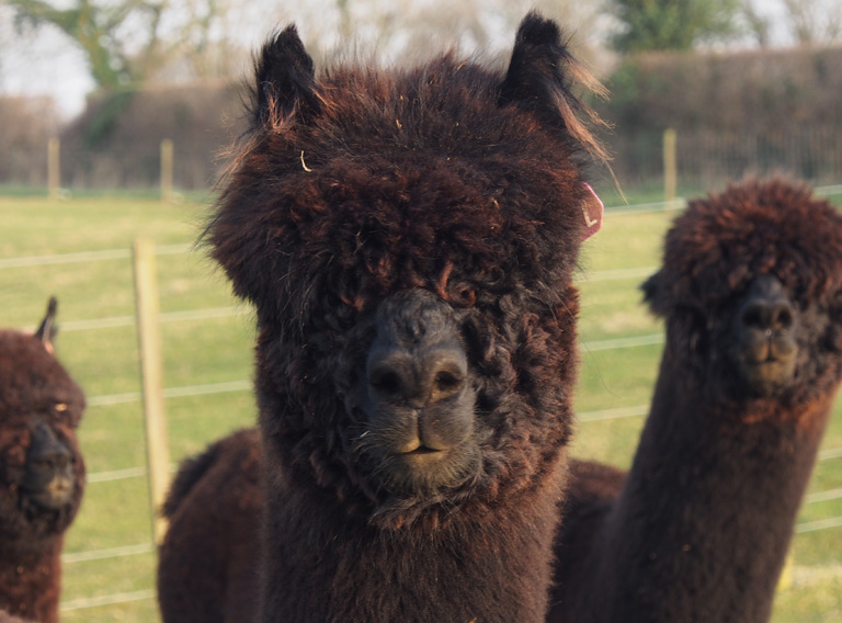 Wyvern Alpacas